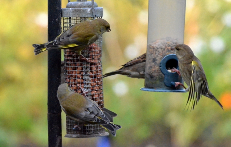 Three greenfinches