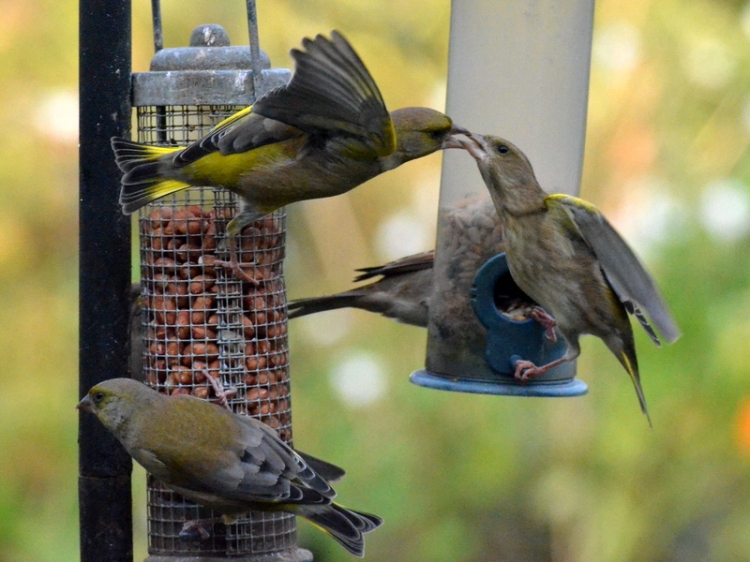 Greenfinches beak to neak