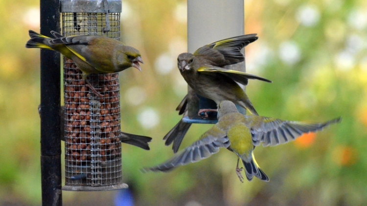 Greenfinches on feeder
