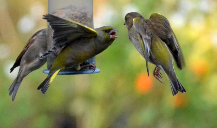 greenfinches in dispute