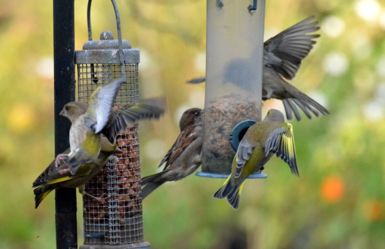 sparrows and greenfinches