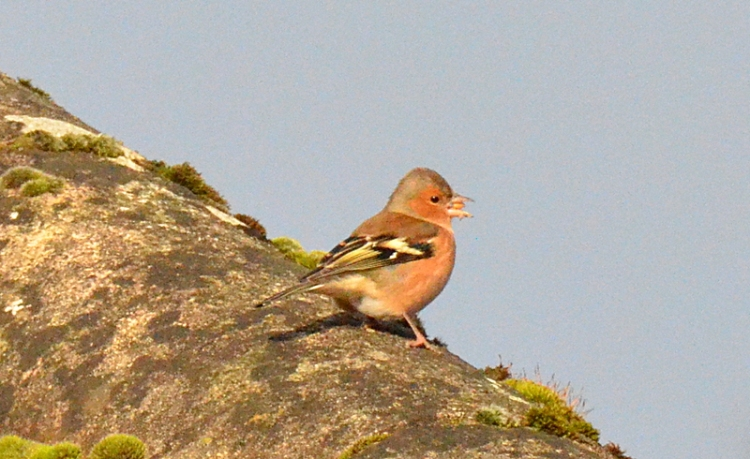 chaffinch on roof