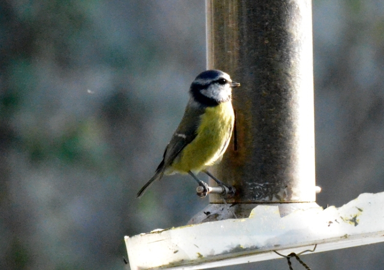 nyger seed feeder with blue tit