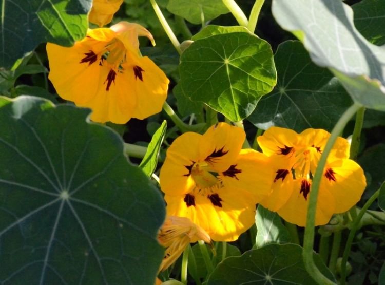 yellow nasturtiums