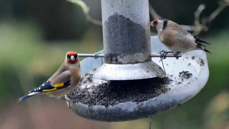 goldfinches at rest