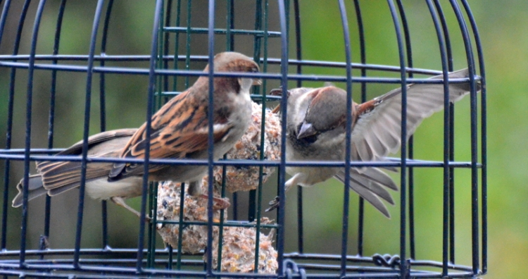 sparrows in a whirl