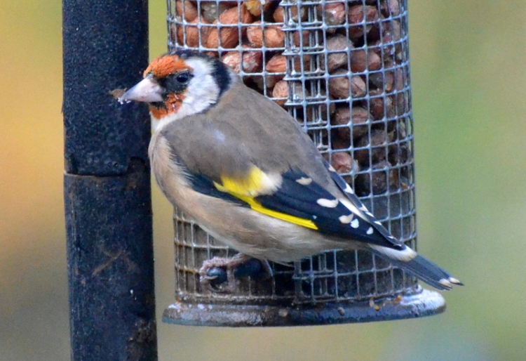 goldfinch on peanuts