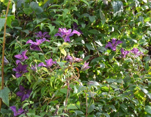 clematis on philadelphus