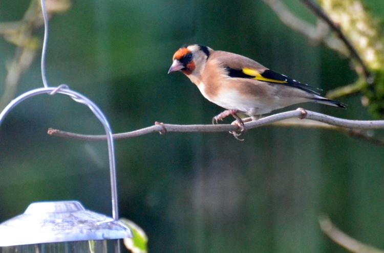 goldfinch on twig