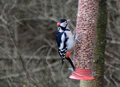 male woodpecker 2