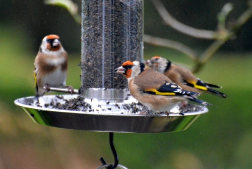 return of goldfinches