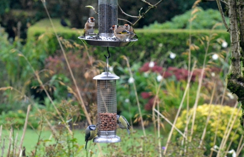 goldfinches and blue tits