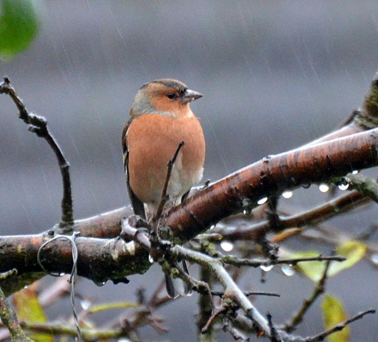 chaffinch on branch in rain