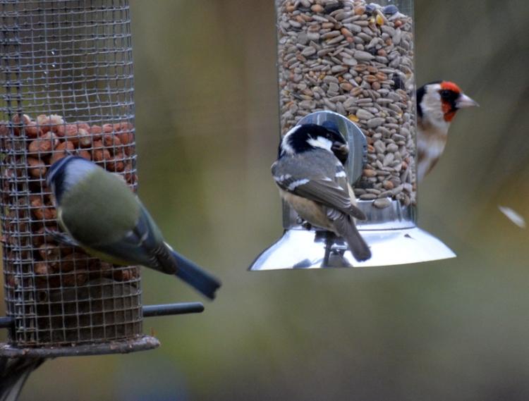 Blue tit coal tit goldfinch