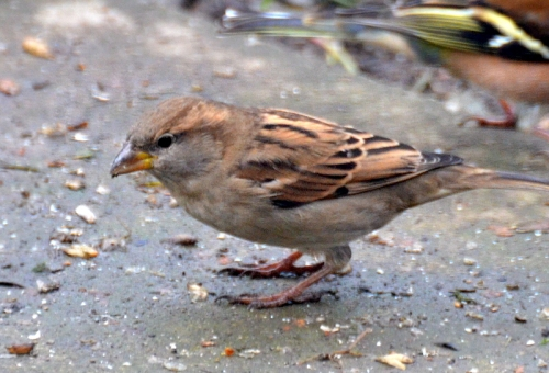 short stocky sparrow