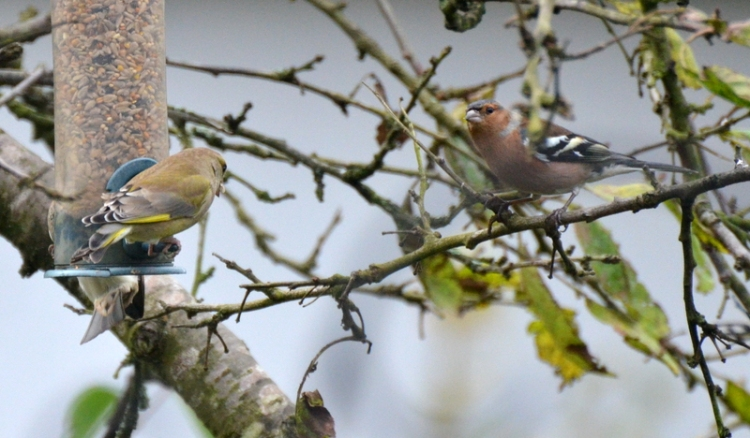 another greenfinch