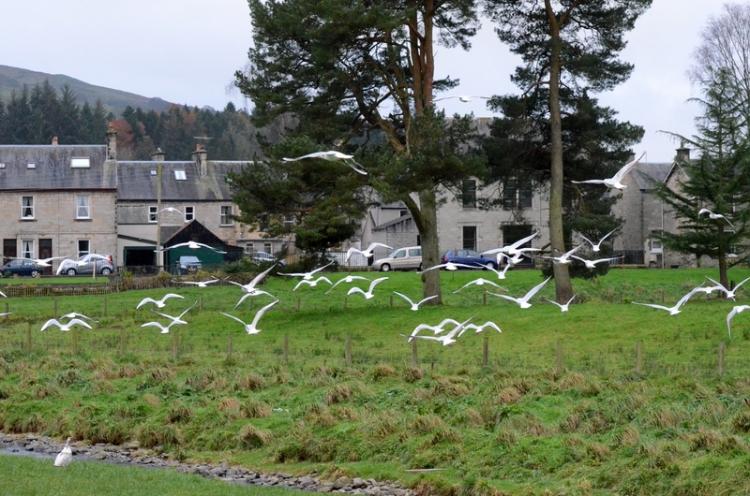 gulls flocking