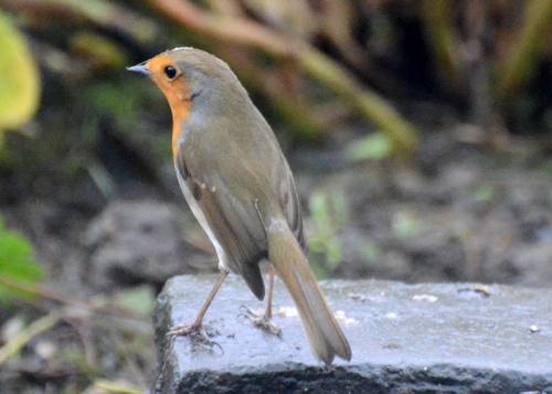 slender robin