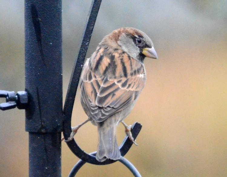 sparrow portrait