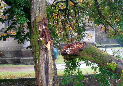 fallen chestnut branch