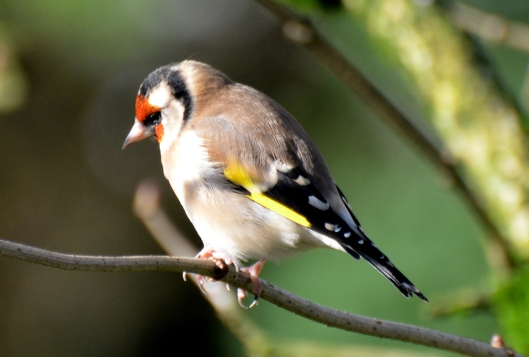 goldfinch in the sun