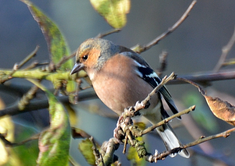 chaffinch in the sun