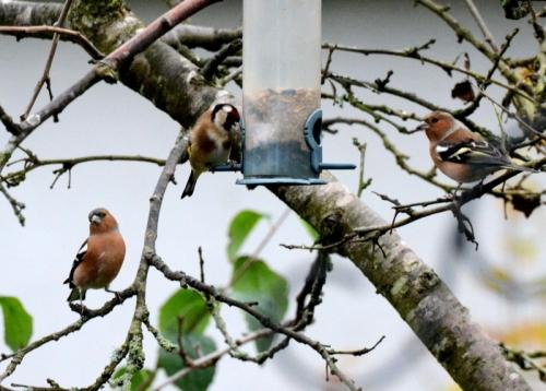 Goldfinch chaffinches