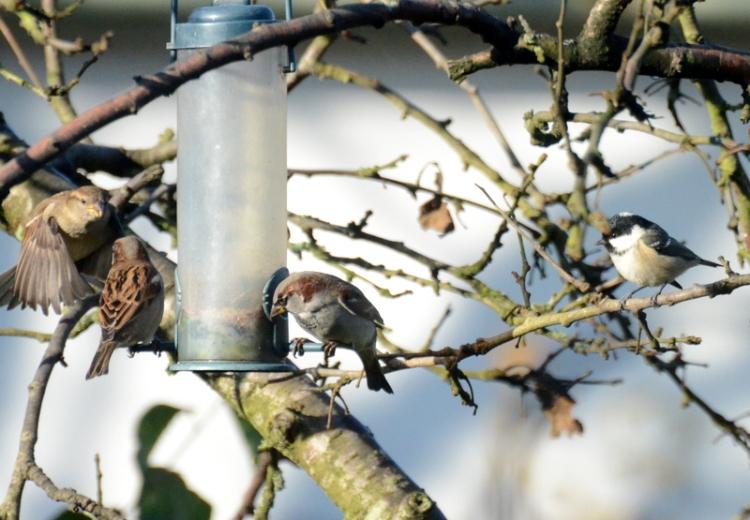 sparrows coal tit