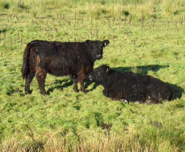 black cattle