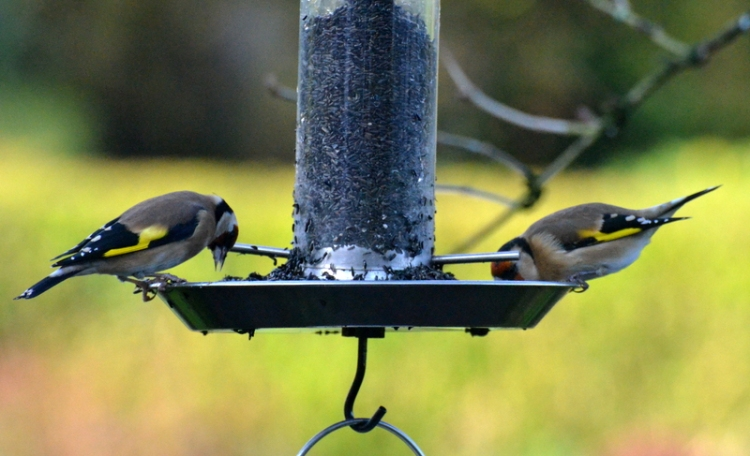 goldfinches in the tray