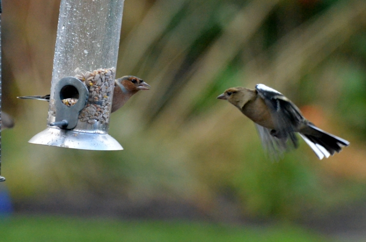 incoming chaffinch