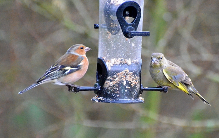 Greenfinch chaffinch steady eaters