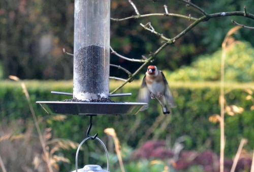 goldfinch approaching