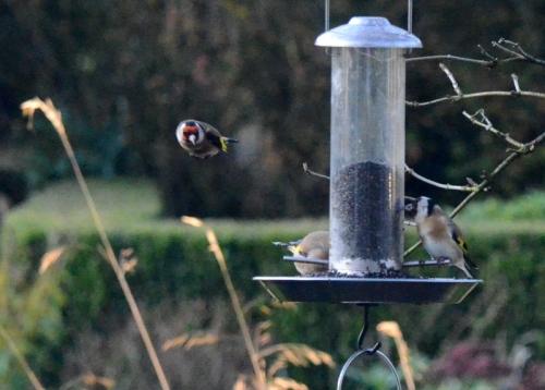 goldfinch cornering