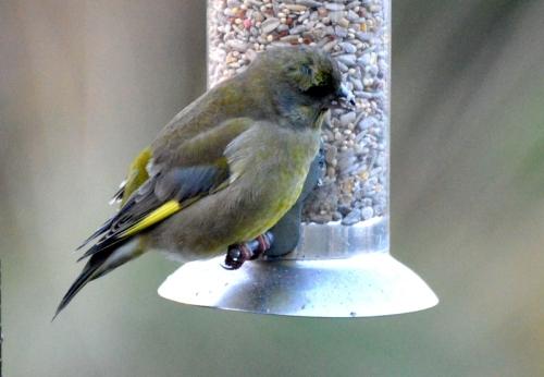 Plump greenfinch