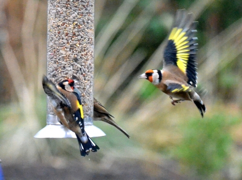goldfinches in dispute