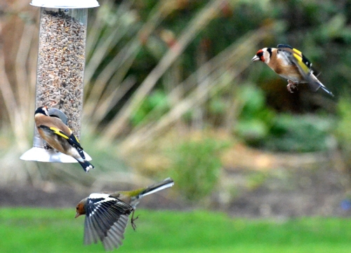 goldfinch in chaffinch out