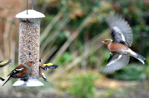 chaffinches in and landing