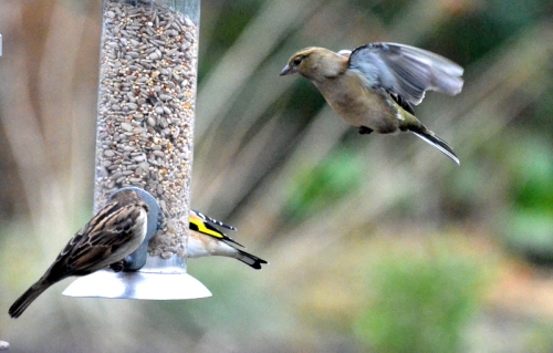 sparrow on chaffinch coming
