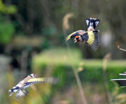 goldfinches in the air