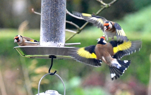 goldfinches at a niger seed feeder