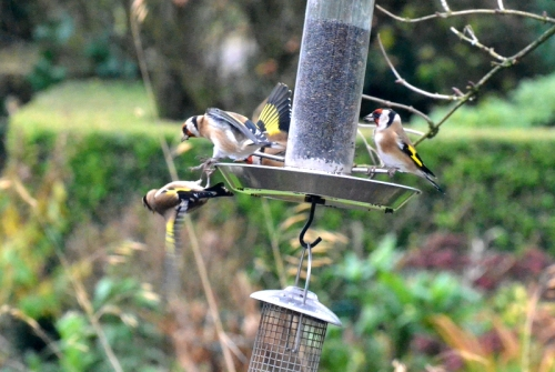goldfinch mob