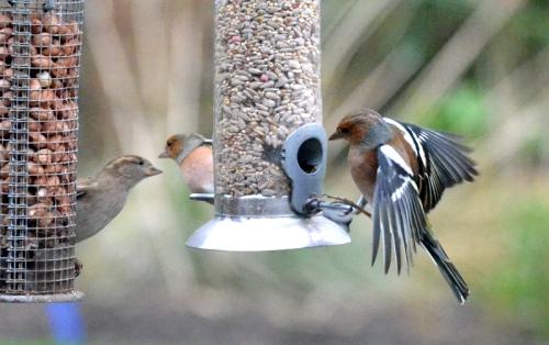 chaffinch landing on feeder