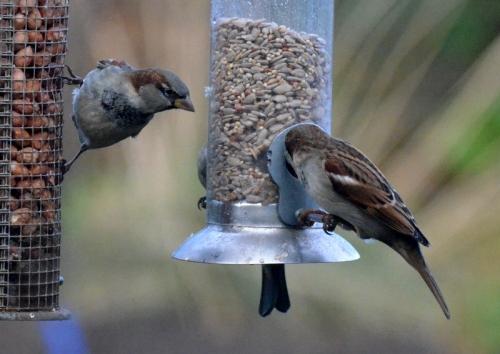mean sparrow