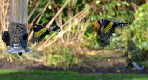 goldfinches lining up