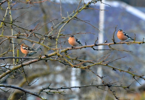 chaffinches in a row