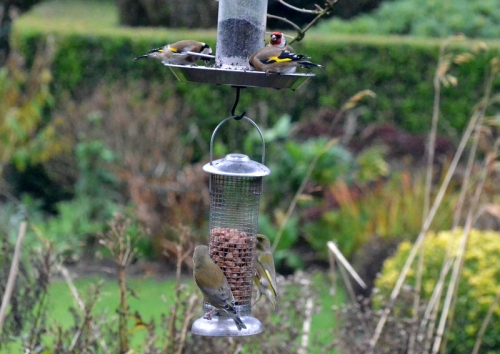 greenfinches below, goldfinches above