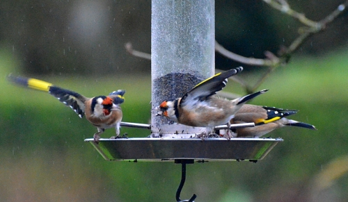 Goldfinches at the niger seed