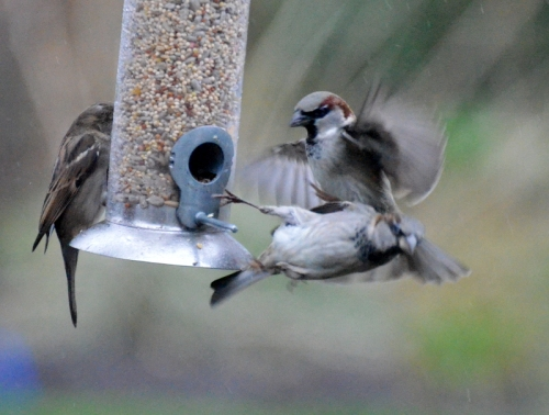 Sparrows showing that they can get in a whirl too