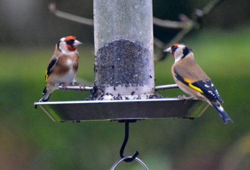 sedate goldfinches